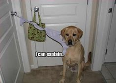 """I CAN EXPLAIN!"" ~ Dog Shaming shame - Yellow Labrador OMG - Lol, can't stop...lol!"