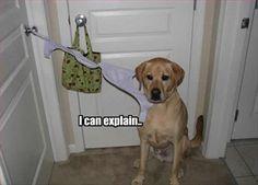 """I CAN EXPLAIN!"" ~ Dog Shaming shame - Yellow Labrador OMG - Lol, can't stop...lol!"