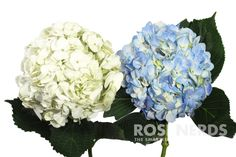This box of wholesale Mixed White & Blue Hydranges is perfect for decorating a wedding or special event on a budget. Not only do they make beautiful wedding flower centerpieces, but even prettier wedd