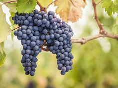 Learn about Nebbiolo