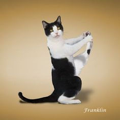 Dan Borris, creator of Yoga Dogs , is back.but with cats! Here's a look at some of the funny photos of cats getting their yoga on. They're all part of his Yoga Cats calendar . Silly Cats, Funny Cats, Cute Funny Animals, Cute Cats, Kittens Cutest, Cats And Kittens, Animal Yoga, Cat Calendar, Cat Exercise