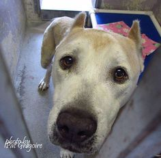 Video shows heartbreak of pit bull who's running out of time http://thedo.do/1NPwZ51