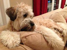 My diva, Stella!  Wheaten Terrier