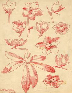 https://flic.kr/p/A4vjKx | Hellebores, drawing by WH Allen | Pen and ink drawing on paper, in red, drawing of plant and flowers, Hellebores or Christmas Rose, drawn by William Herbert Allen, of Farnham, Surrey, 28th December 1911  HMCMS:ACM1943.346.525.11 DPAALL74