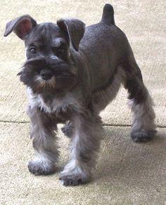 schnauzer haircut for a dog named Jock