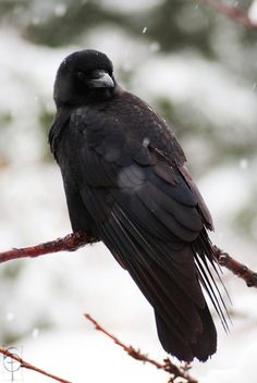 <3 crows