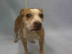 SUPER URGENT  12/16/15 Manhattan Center VUITON – A1060660  SPAYED FEMALE, BROWN / WHITE, PIT BULL MIX, 8 yrs STRAY – ONHOLDHERE, HOLD FOR ID Reason STRAY Intake condition GERIATRIC Intake Date 12/16/2015, From NY 10468, DueOut Date12/23/2015