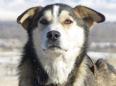 Nicolas Vanier aux prises avec les montagnes mongoles - Wolf, le chef de meute. © Taïga - Nicolas Vanier, Husky, Wolf, Dreams, Animals, Sustainable Development, Mountains, Dogs, Animales