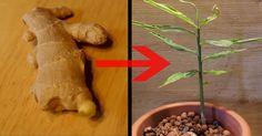 Ingwer ist nicht nur ein beliebtes Gewürz, die Pflanze sieht auch wunderschön aus. Mit einem simplen Trick lässt sich jedes Stück Wurzel zum Keimen bringen. In zwei Monaten entsteht so eine tolle Tropenpflanze fürs Wohnzimmer.