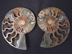 Cleoniceras Ammonite Fossil Pair LG  Ammonite fossils are one of my favorite things