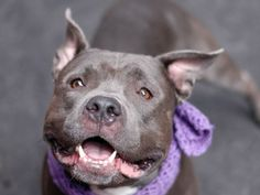 A volunteer writes:  Santa Fe, the name alone evokes of beautiful colors and our Santa Fe is no exception.  Sporting a dreamy coat of gorgeous grey, which glistens in the morning sun, Santa Fe is a handsome pup with a sweet personality, a pup with...
