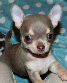 Lavender Chihuahua Beautiful!!