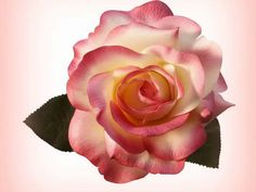 Está rosa de um doce perfume suave aromatíco especial de uma excencia de um amor puro de Deus.