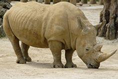Rhinocéros, Des Animaux, Afrique, Bihorned, Twohorned
