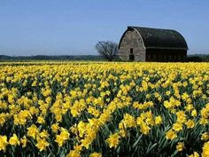 Daffodils...Springs Sunshine