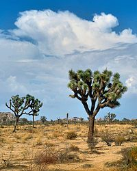 Joshua Tree National Park is located in southeastern California. Declared a U.S. National Park in 1994 when the U.S. Congress passed the California Desert Protection Act, it had previously been a U.S. National Monument since 1936. It is named for the Joshua trees (Yucca brevifolia) native to the park. It covers a land area of 790,636 acres– an area slightly larger than the state of Rhode Island. A large part of the park, some 429,690 acres, is a designated wilderness area.