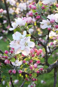 'Apple' blossoms in the garden, at Rose cottages and gardens