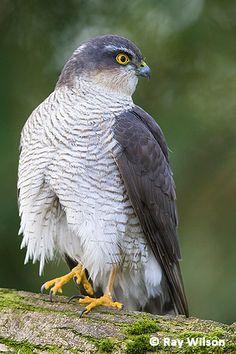 Types Of Eagles, Song Thrush, Sparrowhawk, Call Backs, Starling, Birds Of Prey, Raptors, Hunters, Animals Beautiful