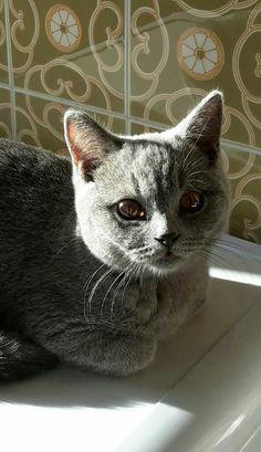 British shorthair blu kitten