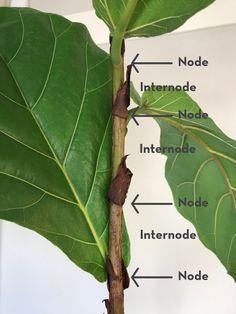 Garden Plants, House Plants, Indoor Plants, Fig Bush, Fiddle Leaf Fig Tree, Fig Leaf Tree, Inside Plants, House Plant Care, Cactus Y Suculentas