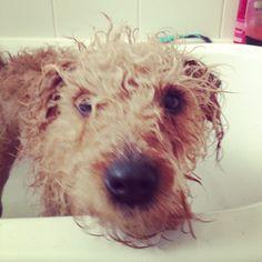 Bath time ... Gorgeous Lakeland Terrier. x