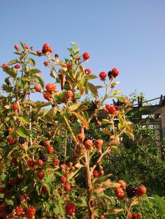 blackberries in the Heartland Harvest Garden