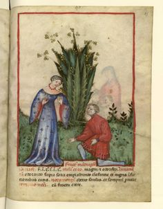 Mandragora, 1390-1400, Tacuinum sanitatis; Ibn Butlân, Taqwim es Siha (traduction anonyme), Bibliothèque Nationale, Milan, Italy, [cote - BnF-MSS Nouvelle acquisition latine 1673 ] Fol. 85 [Flore - mandragore] http://visualiseur.bnf.fr/CadresFenetre?O=08100553&M=tdm