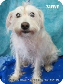 Link removed  so sad Dogs only held shor time. Please save Taffie. Madisonville, TN - Terrier (Unknown Type, Medium) Mix. Meet Taffie a Dog for Adoption.