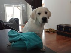 Winter ! Labrador Retriever, Puppies, Pets, Winter, Animals, Labrador Retrievers, Animais, Animales, Animaux