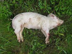Example of a pig carcass in the fresh stage of decomposition (Hbreton19 at Wikimedia).