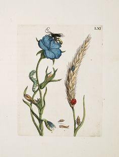 """Maria Sibylla Merian  """"Raupen wunderbare Verwandelung und sonderbare Blumennahrung,"""" 1730"""