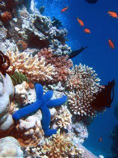 Blue Sea Star | Richard Ling - Flickr - Photo Sharing! - Great Barrier Reef, Queensland, Australia