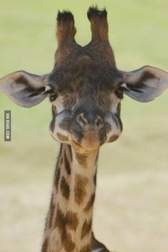 Baby giraffe with mouth full of food. Lovely.