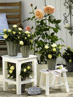 verschiedene Rosen und ÜbertöpfeBlumenerde1. Etwas Blumenerde auf dem Boden der Pfllanzschalen/Blumenübertöpfe verteilen.2. Pflanzen