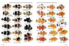 Snowflake Clownfish | Wittenrich Reflects on Designer Clowns in New CORAL