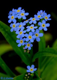 """""""Heart of forget-me-not ! (by vjdj69) """""""
