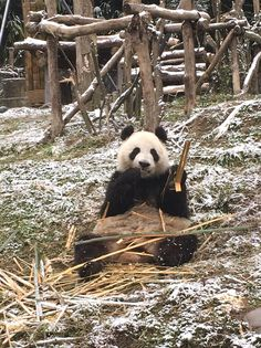 The much awaited Ähtäri Zoo's snow panda couple Lumi (Jin BaoBao) and Pyry (Hua Bao) arrived at Helsinki-Vantaa Airport this morning. The pandas' journey from China to Finland went as planned.