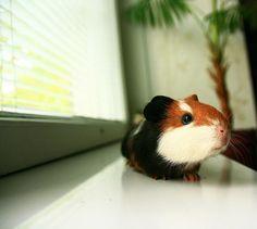 guinea pig by ufo., via Flickr