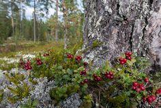 Puolukat kasvuympäristössään - puolukka puolukat puolukan varvut lehti lehdet Vaccinium vitis-idaea kasvi terveellinen marja metsämarja metsä mänty puu jäkälä varpu syksy syyskuu korjata sato kasvaa tuottaa satoa hapan vitamiinirikas vitamiinipitoinen vitamiini C-vitamiini marjastus marjastaminen marjanpoiminta hyötykäyttö hyötykasvi hyödyntää kerätä poimia kypsä kypsät punainen syötävä kasvuympäristö metsämaisema mäntykangas