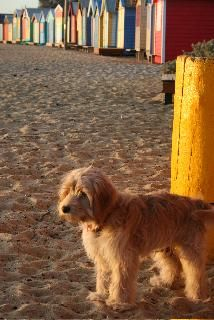 Charlie the Spoodle at the beach