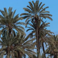 Palm trees of #Marrakech  #palmtree #palmier #Maroc #Morocco #travel #voyage #magazine #ipad #nowmaroc
