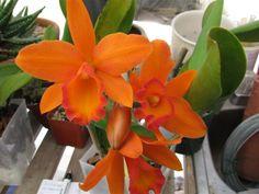 Brassolaeliocattleya Orange Show 'Cloud Forest'