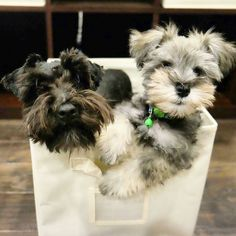 See this Instagram photo by @schnauzerworld • 5,430 likes