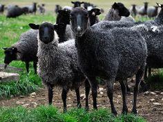 The Black sheep, Gotland, Sweden