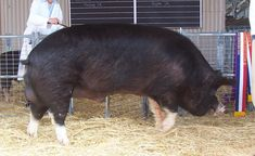 Poland China Pigs | ... of them is the Berkshire pork belly. So, what are the Berkshire pigs