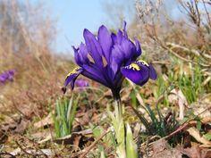 Zwergiris+blau Iris, Plants, Dwarf, Blue, Pictures, Plant, Bearded Iris, Planets, Irises