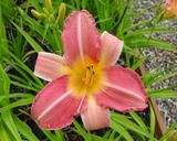 """daylily Wide Wide World. 34"""" scape. Mid-late bloom. D. $8"""
