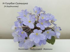 N-Goluboe Solnyshko / Н-Голубое Солнышко • N. Berdnikova • Miniature, Russia 2019 • Blue half-bells with white fantasy, a slightly greenish wrong side of the petals. Smooth rosette of green leaves with white bordering variegation. #NGoluboeSolnyshko #BerdnikovaViolets #Miniviolet #MiniatureViolet #RussianViolet #AVSA #AfricanVioletSocietyOfAmerica #AfricanViolet #IndoorPlant #Houseplant #saintpaulia #senpolia #AfricanViolet #IndoorPlant #Houseplant #flowers
