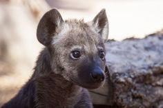 In early August, ZooBorns brought you a story about three Spotted Hyena cubs that were flown to Denver Zoo.