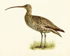 VINTAGE BIRD ILLUSTRATION Common Curlew Bird by UpcycleFarmer - Use coupon code PINTEREST to save 10% off of your purchase!